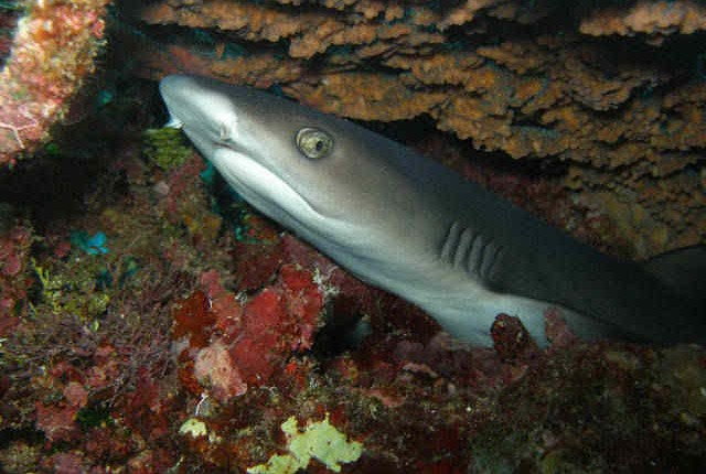 Shark seen whilst diving in Port Vila, Vanuatu
