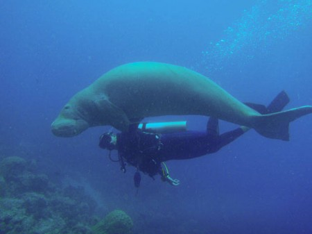 Scuba diving with dugong