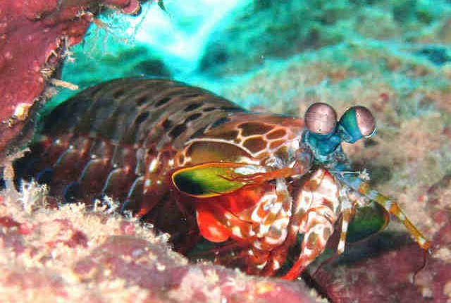 Mantis shrimp, marine life seen when diving on Port Vila, Vanuatu
