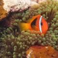 Anemone fish in Vanuatu
