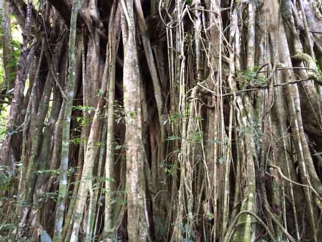 Banyan tree of Vanuatu