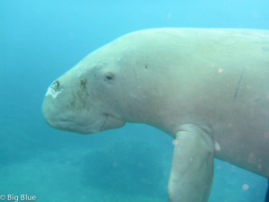 Friendly face of a dugong seen diving in Port Vila