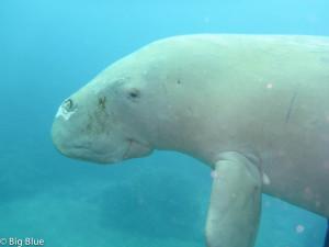 Friendly face of a dugong seen diving in Port Vila