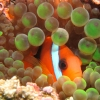 fish in anemone whilst diving in Vanuatu