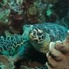 Hawksbill turtle in Vanuatu